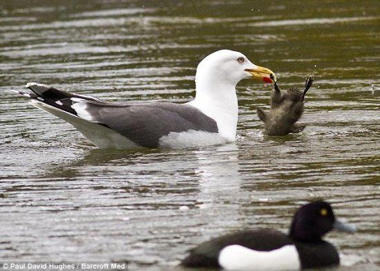 摄影师拍摄到海鸥捕捉小鸭子整个吞下画面